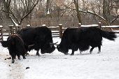 stock photo of yaks  - Yaks are fighting on the white snow - JPG