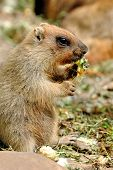 pic of groundhog day  - Marmot otherwise known as a ground squirrel or ground hog - JPG