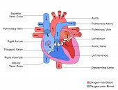 picture of anatomy  - Simplified colored labelled diagram of human heart anatomy - JPG