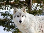 foto of white wolf  - white timber wolf with a snowy background - JPG