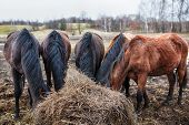 stock photo of horses eating  - Some horses with their heads down eating hay - JPG