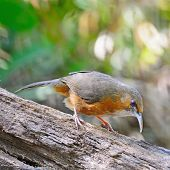 image of babbler  - Brown bird Rusty - JPG