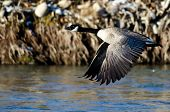 stock photo of snow goose  - Canada Goose Flying Over a Winter River - JPG