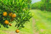 pic of orange-tree  - Orange groves and mountain backdrop. Orange orchard Orange tree ** Note: Shallow depth of field - JPG