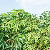 picture of cassava  - Cassava plantation and harvest in north eastern of Thailand - JPG