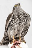 stock photo of merlin  - Hawk hunting a white pigeon on white background - JPG