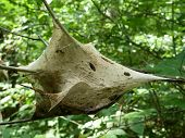 foto of gypsy  - A large gypsy moth cocoon hangs from a branch with green foliage in background - JPG