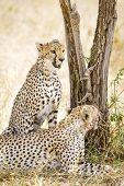 foto of cheetah  - African cheetah looking for enemies at the Savannah in Serengeti - JPG