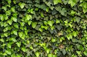 foto of ivy  - Green ivy wall with new leafs Nurnberg Germany - JPG