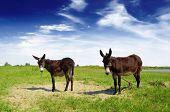 picture of donkey  - two Spanish donkeys        - JPG