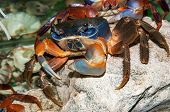 Постер, плакат: Rainbow Crab Or Cardisoma Armatum