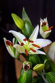 picture of stamen  - Beauty white lily with brown stamens in bouquet - JPG