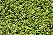 foto of neat  - Neatly cut green Privet shrub  hedge background - JPG