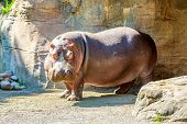 stock photo of hippopotamus  - A Hippopotamus stands on guard with some grass on face under the sun - JPG