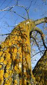 image of lichenes  - Yellow lichens on a maple tree bark - JPG