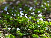 image of sorrel  - Beautiful small flowers of wood sorrel blooming in early springtime in forests - JPG