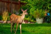 pic of mule  - Wild mule deer strides in suburban backyard - JPG