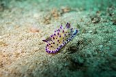 foto of echinoderms  - Underwater photography of a nudibranch in ocean - JPG