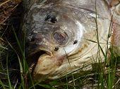 foto of grub  - Dead fish lying in grass near lake - JPG