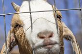 picture of forlorn  - Sad Kinder Goat peers through the fence - JPG