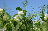stock photo of sweetpea  - organic vegetable gardens sugar snap peas reaching for the sun on a bright spring day - JPG