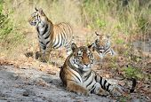 Tigress And Cubs. In A Sunny Day The Tigress Lies On A Forest Glade. India . Bandhavgarh National Pa poster