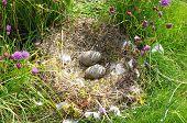 Постер, плакат: Гнезда с яйцами чайки под куст