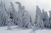 Winter landscape with footpath in the snow. Spruce forest in the mountains. Overcast weather. Carpat poster