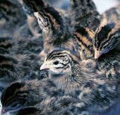 stock photo of guinea fowl  - Flock of Day Old Guinea Fowl Keets - JPG