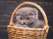 Scottish Fold Kitten. The Kitten Looks To The Left poster