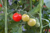 Cherry Tomatoes Growing On The Vine, Ripening And Red Ready To Pick Plus Green Tomatoes. Organic Hom poster