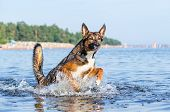 The Gulf Of Finland. Young Energetic Half-breed Dog Is Jumping Over Water. Doggy Is Playing In Water poster