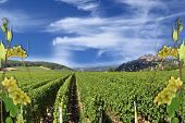 pic of wine-press  - photo montages of vines and grapes for wine grapes and the wines of France - JPG