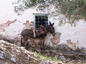 stock photo of hydra  - Tethered Donkey on the Greek Island of Hydra - JPG