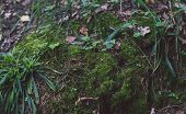 Green Moss Grows On The Tree. Natural Moss In The Forest Covered With Moss Tree. Beautiful Moss And  poster