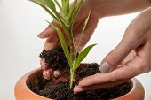 Female Hands Are Caring  - Are Adding Soil To Plant New Small Green Sprout In The Flower Pot.  World poster