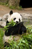 Постер, плакат: Медведь панда