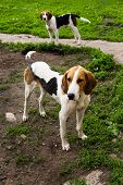 picture of foxhound  - Rack of hounds of dogs in the summer morning - JPG
