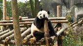 A Cute Adult Giant Panda Sitting And Relaxing In The Park, Endangered Speicie, China poster