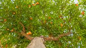 Fruit Tree Background. Tangerine Tree Background. Green Leaves And Ripe Fruits On The Tree. Harvesti poster