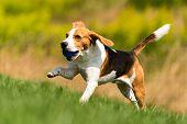 Beagle Dog Runs Through Green Meadow With A Ball. Dog Fetching Blue Ball. poster