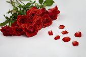 Beautiful Rose Flower In Garden. Rose Flower Background. Roses Flower Texture. Lovely Rose. Roses On poster