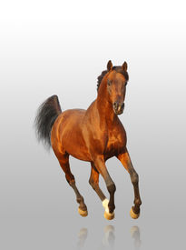 pic of running horse  - bay arab stallion on a grey gradient - JPG
