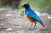 Superb Starling bird in Serengeti, Tanzania, Africa