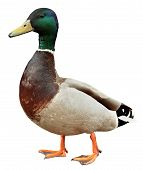 picture of ducks  - Mallard Duck with clipping path - JPG
