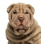 picture of shar-pei puppy  - Close - JPG