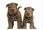 picture of shar-pei puppy  - Front view of two Shar Pei puppies standing - JPG