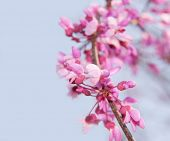 picture of judas tree  - Closeup of a blooming twig of an Eastern Redbud tree against blue sky - JPG