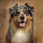 Close-up of an Australian shepherd blue merle, panting, 4 years old, on brown vintage background