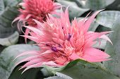 picture of bromeliad  - Close up Pink bromeliad flower  - JPG